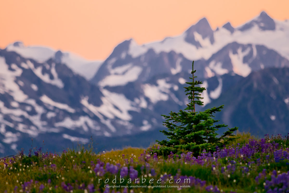 Barbee_090720_3_1261_Edit |  Subalpine fir on Hurricane Ridge. Mt. Carrie in background. Olympic National Park.