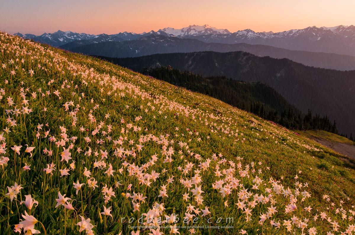 Barbee_090721_3_1377 |  field of Avalanche lilies and Olympic peaks as seen from along the Obstruction Point Road on Hurricane Ridge. Mt. Olympus in the background.