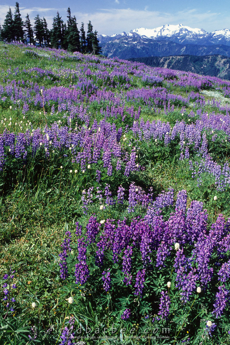 Barbee_10265 |  Lupine field with Mt. Olympus in the background, Hurricane Ridge.