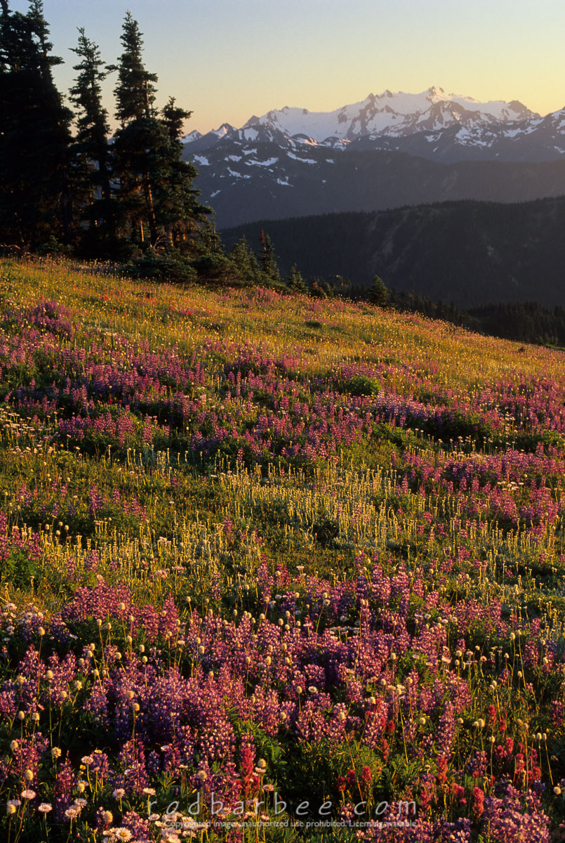 Barbee_11436 |  Lupine field on Hurricane Ridge at sunset. Mt. Olympus in the background