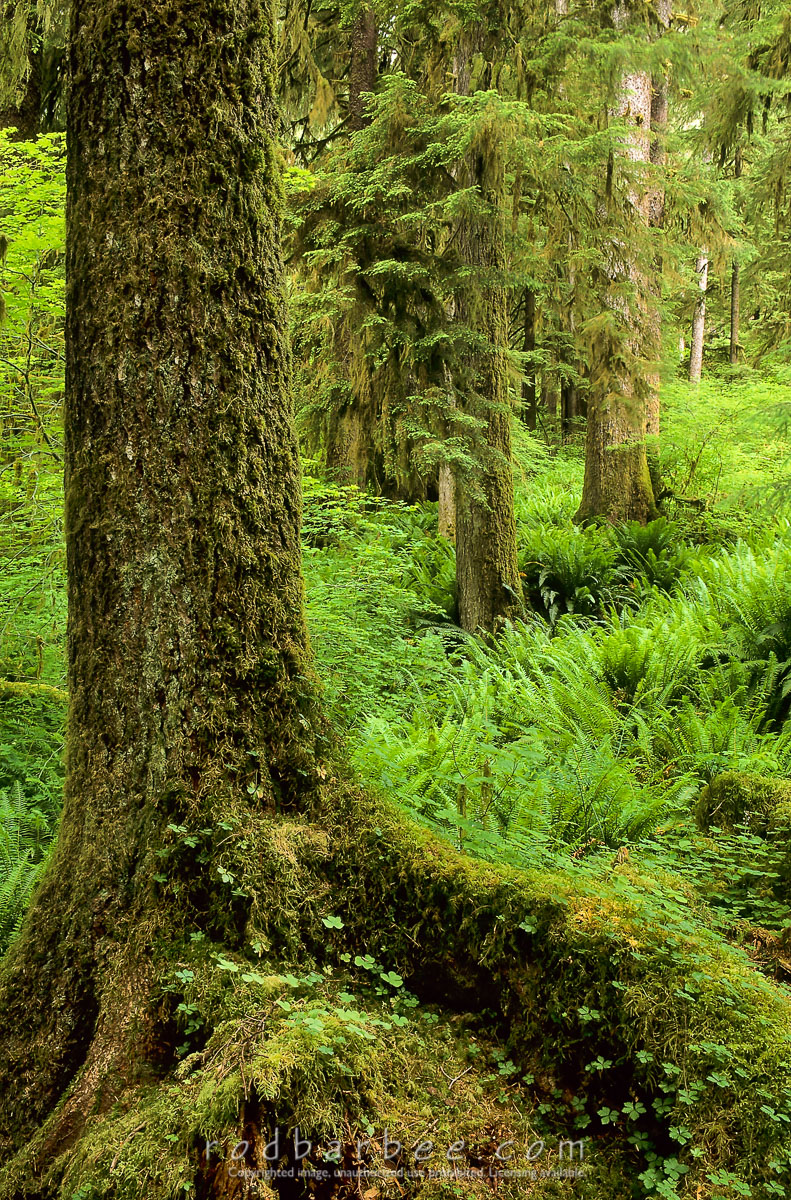 Barbee_11836 |  Hoh rainforest