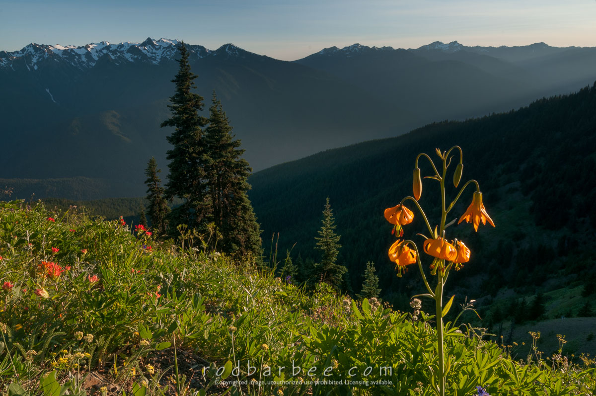 Barbee_130720_3_2578 |  Late afternoon along the Hurricane Hill trail on Hurricane Ridge. Tiger lily in foreground.