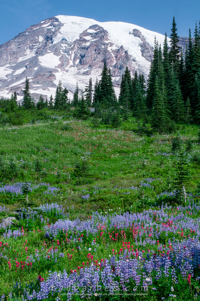 Barbee_090806_3_2077 |  Wildflowers and Mt. Rainier from Paradise.