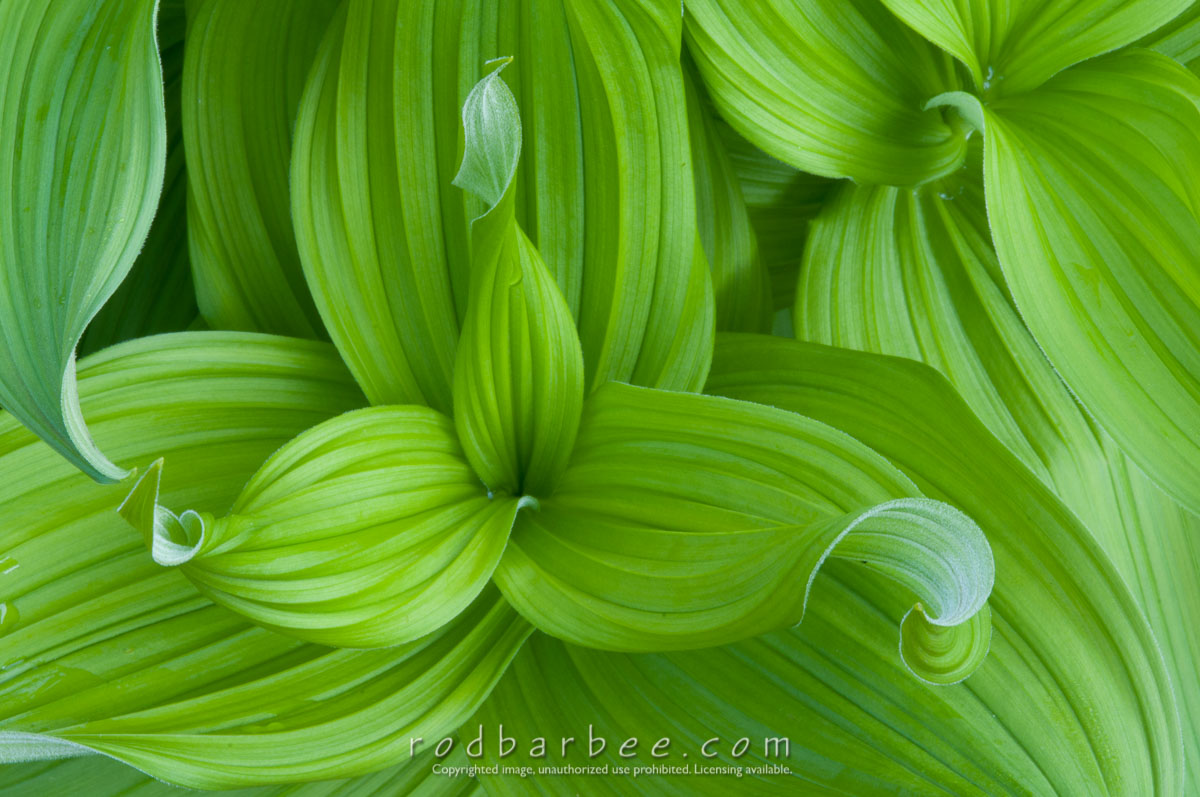 Barbee_100804_3_5228 |  False Hellebore (Veratrum califonicum) Lily Family (Liliaceae)