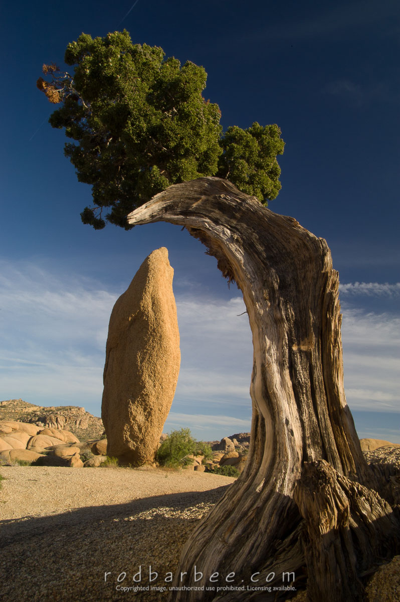 Barbee_050411_1_4729 |  Juniper and rock spire, Jumbo Rocks campground
