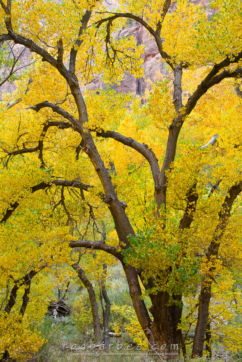 Barbee_081030_2_5717 |  Freemont Cottonwood, fall color in Zion Canyon near Weeping Rock