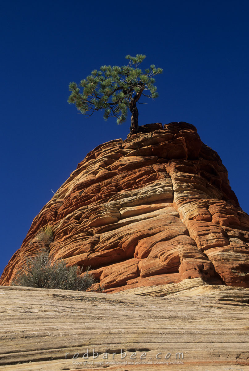 Barbee_13879 |  Lone pine tree on sandstone outcropping in Zion National Park, UT