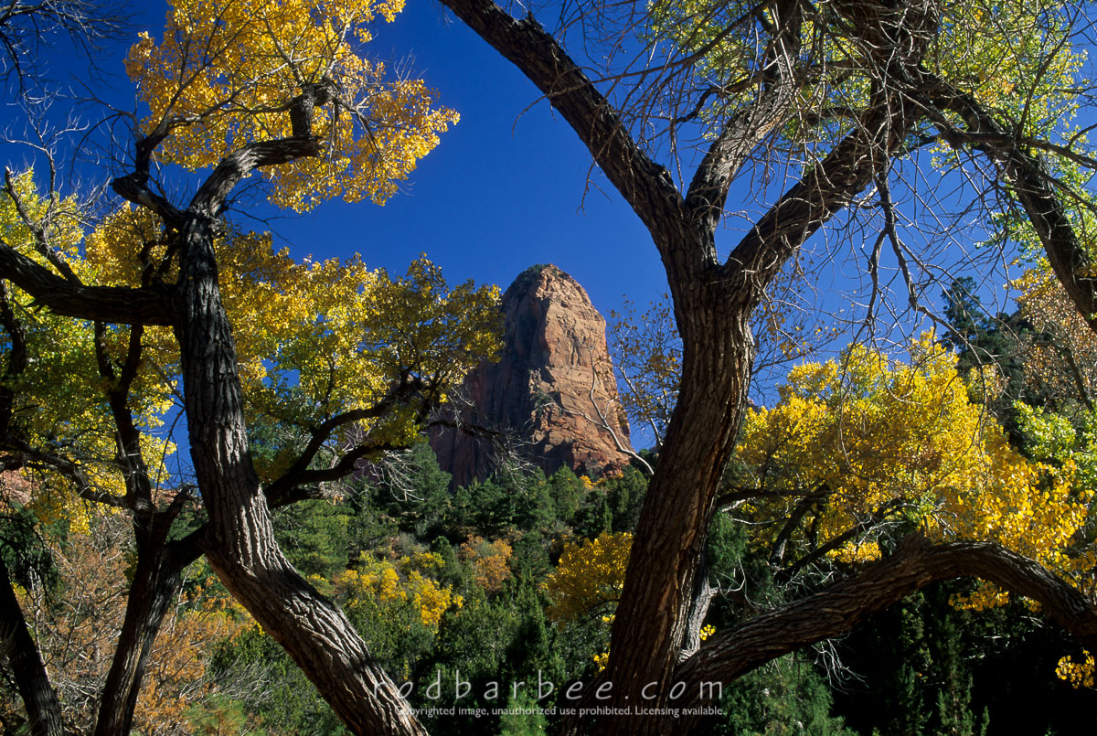 barbee_11072 |  Freemont cottonwoods and fall color along the Taylor Creek trail, Zion National Park, UT