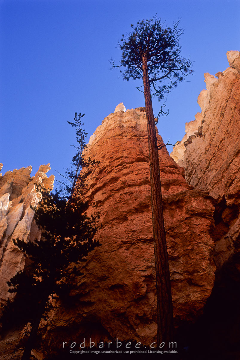barbee_11414 |  Ponderosa Pine and Hoodoos on the Navajo Loop Trail, Bryce Canyon National Park, UT