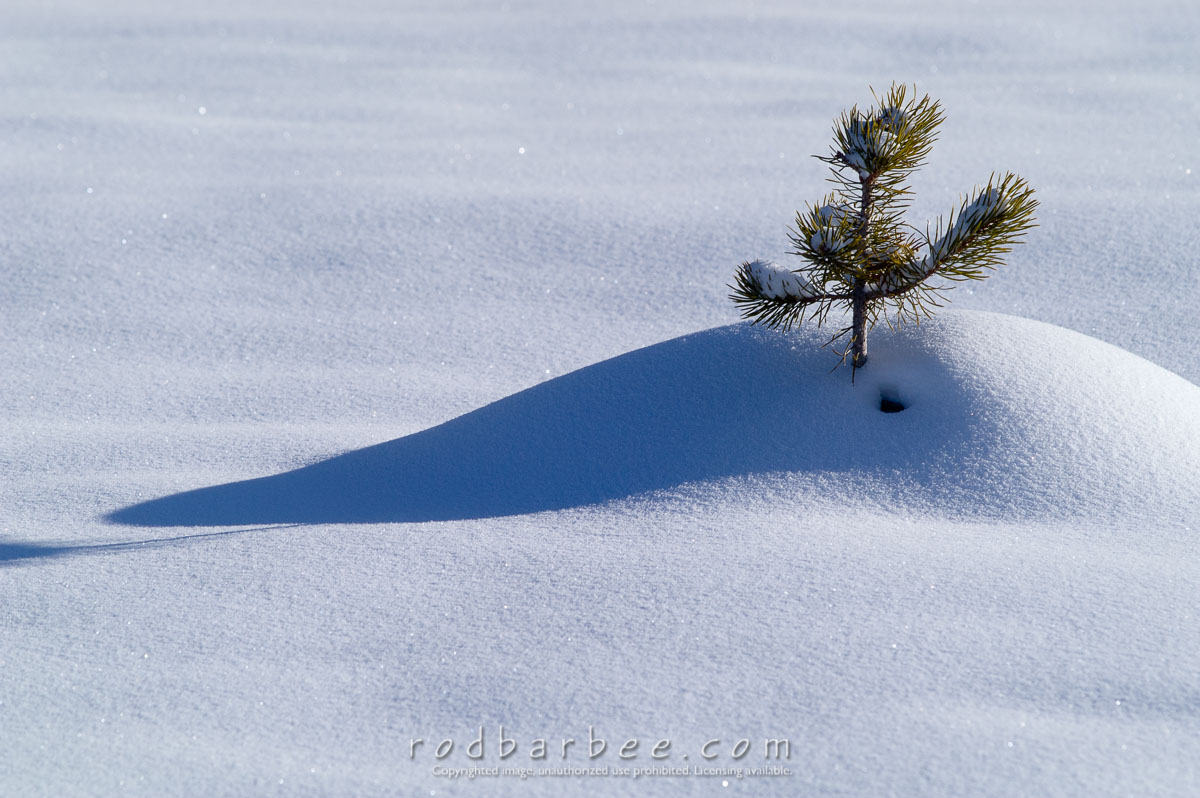 Barbee_060119_1_9694 |  Small pine tree in snow
