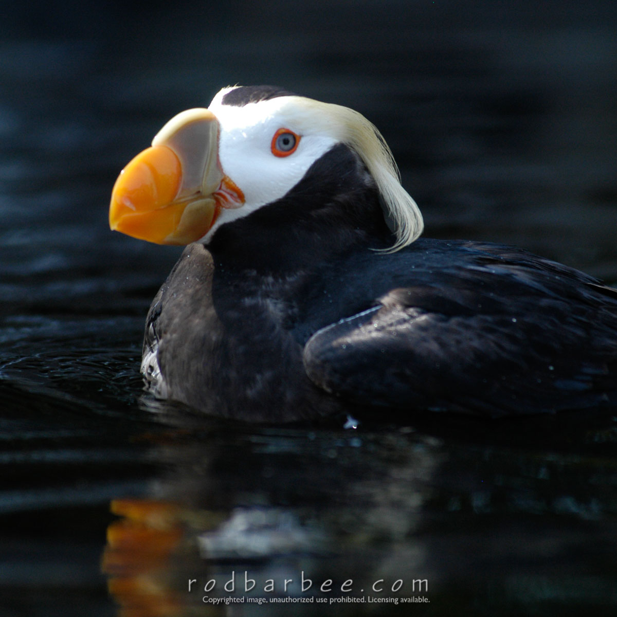 Barbee_030903_1_7711 |  Tufted Puffin