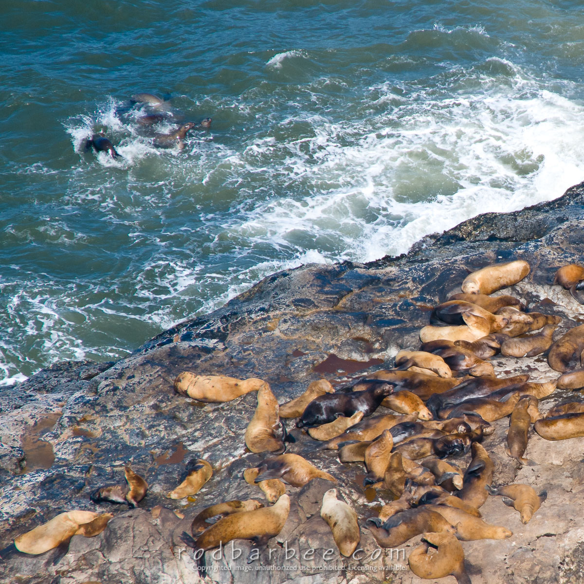 Barbee_110801_3_8073 |  Sea Lions on the rocks at Sea Lion Caves