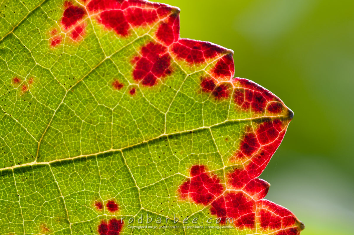 Barbee_081021_3_8576 |  Grape leaf detail, Archery Summit Winery
