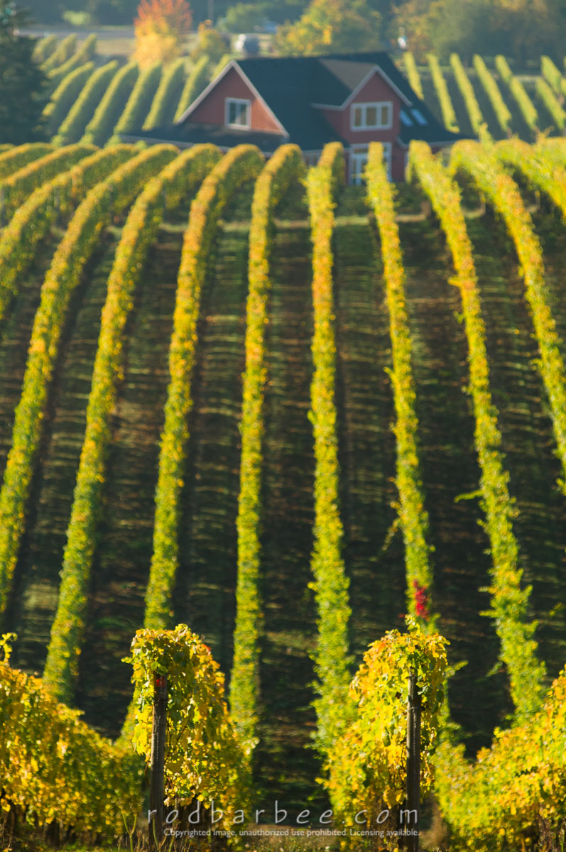 Barbee_081024_3_8860 |  Vineyards of Sokol Blosser Winery. Red home in background.