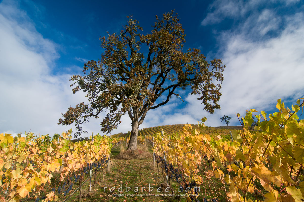 Barbee_111022_3_4229-Edit |  Lone tree in the vineyard at Maysara Winery