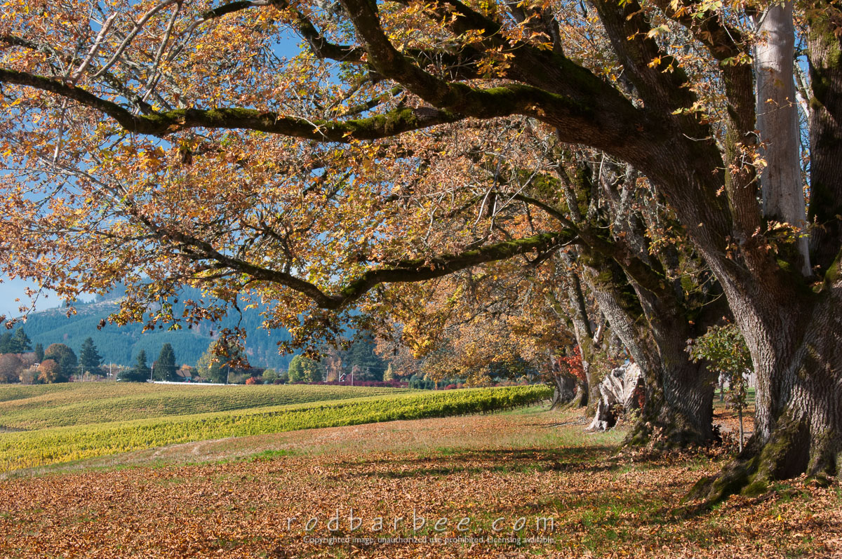 Barbee_131017_3_3221 |  Oak trees at Montinore Estate winery