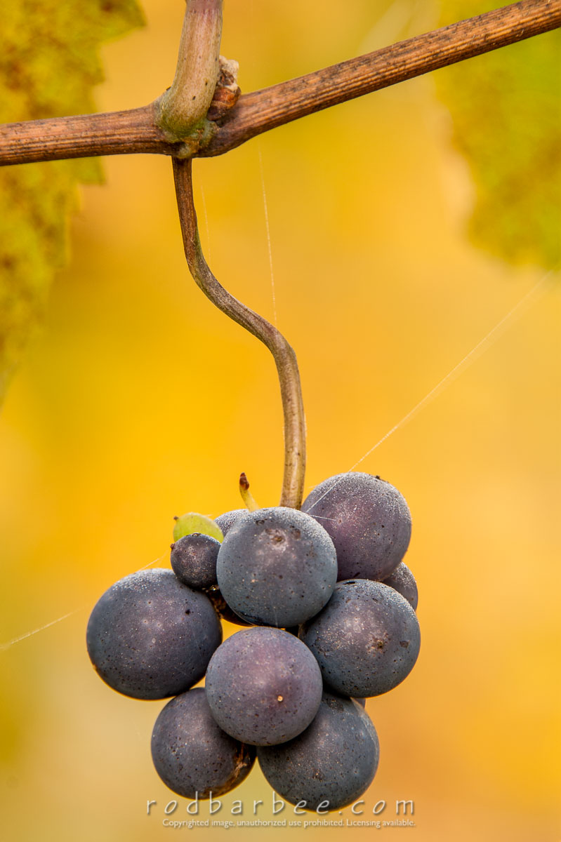 Barbee_131020_3_3547-fb |  Pinot Noir grapes at Sokol Blosser Winery. Focus blend sequence 5. Final blend.