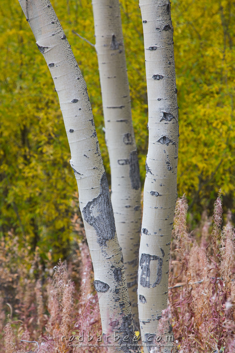 Barbee_070919_5D_9137 |  Aspens along the Icefield Parkway (Hwy 93)