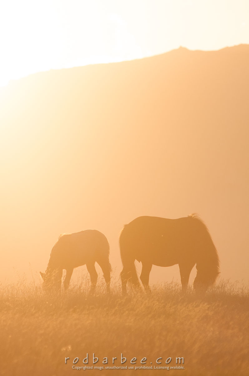 Barbee_120814_3_7370 |  Icelandic horses at sunset. Taken at Guesthouse Hof on the Snæfellsnes peninsula