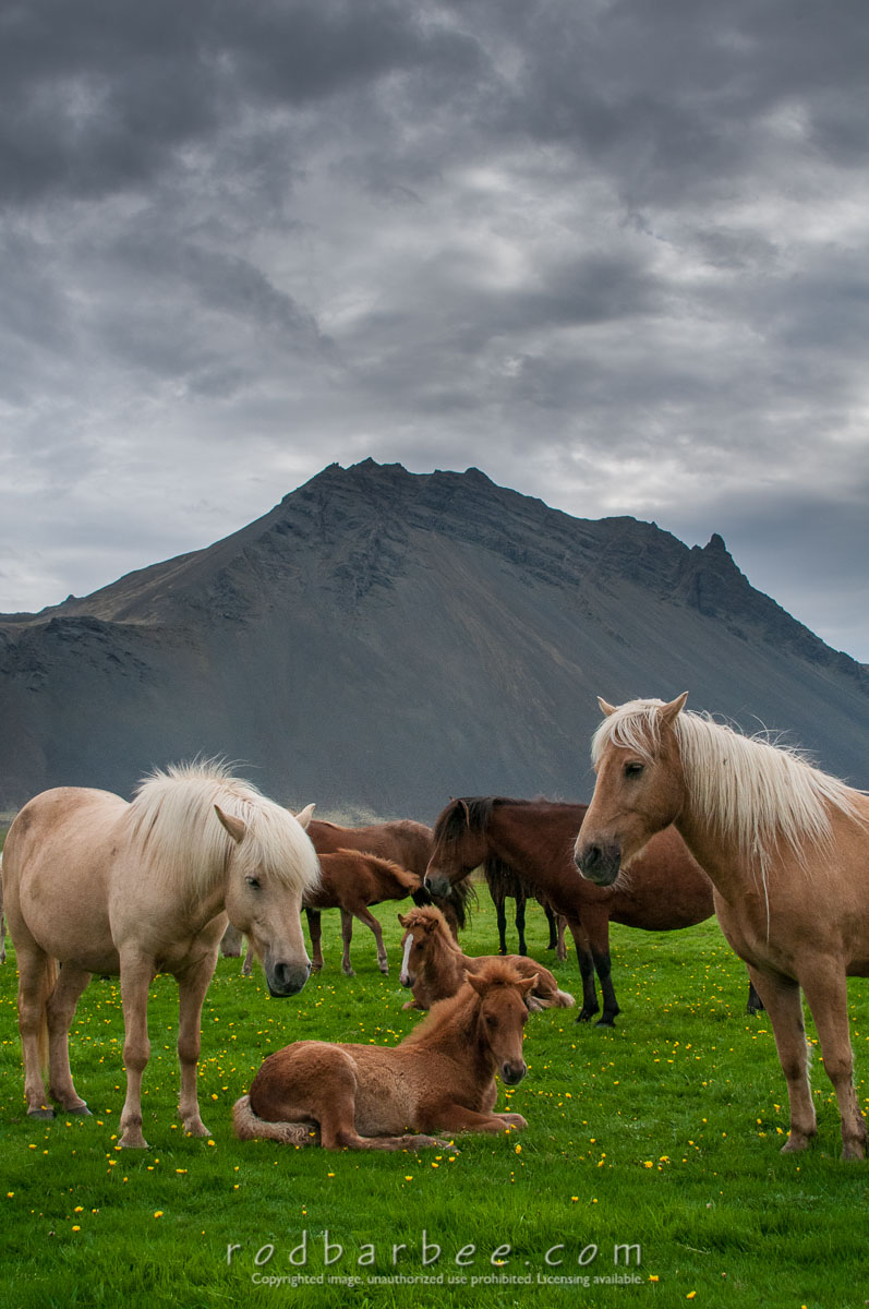 Barbee_120815_3_7423 |  Icelandic horses at Lystidalur Farm