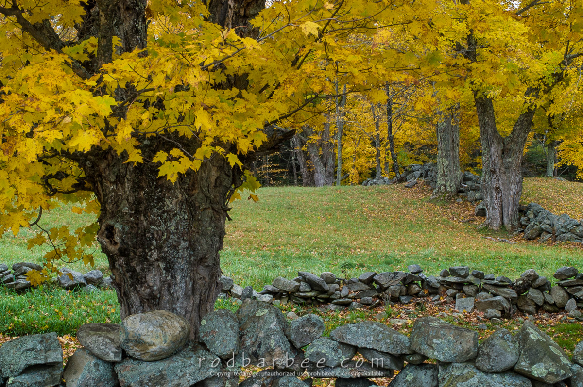 Barbee_041011_1_2694 |  Maples and rock wall