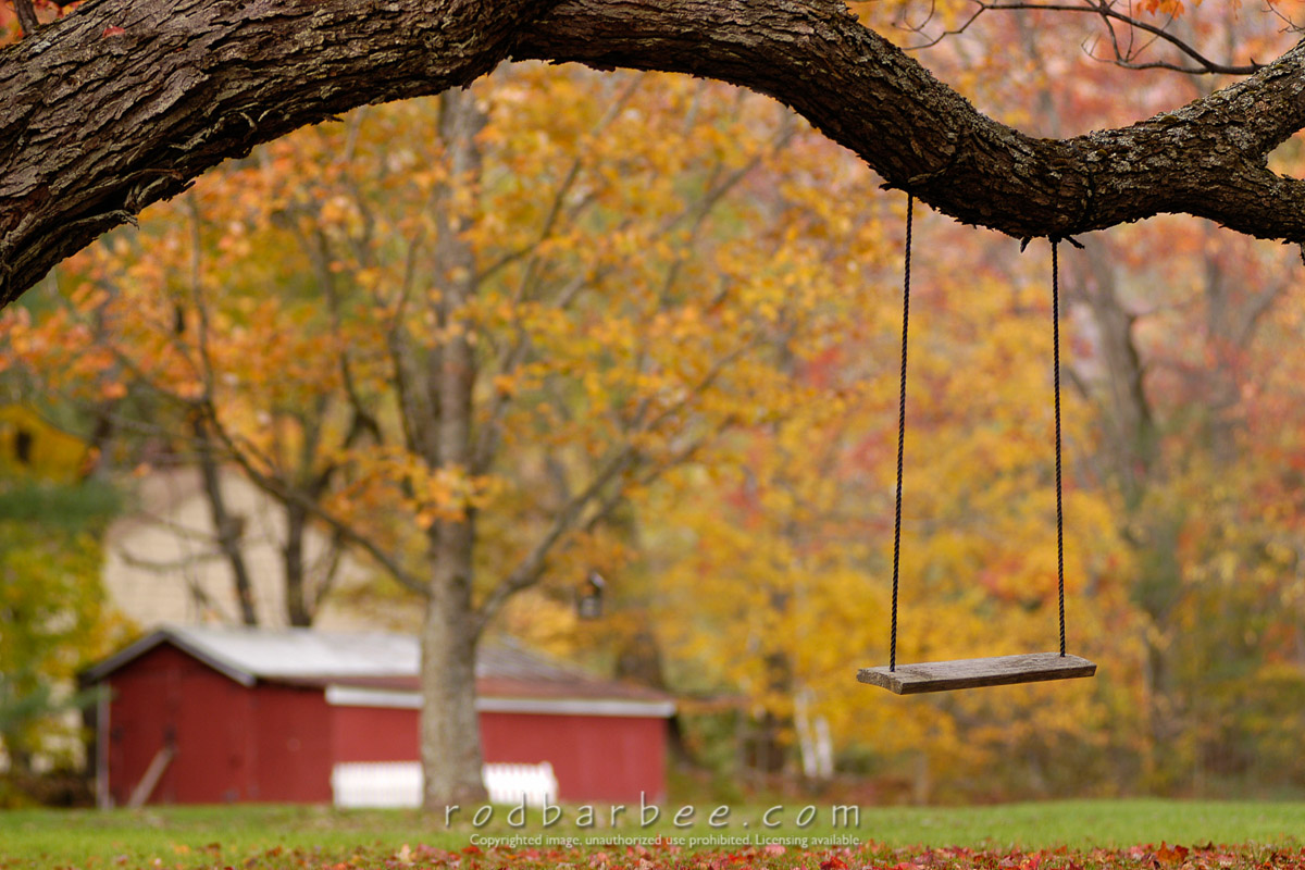 Barbee_0441_1_2659 |  Swing on a branch. Fall color. Ludlow, VT