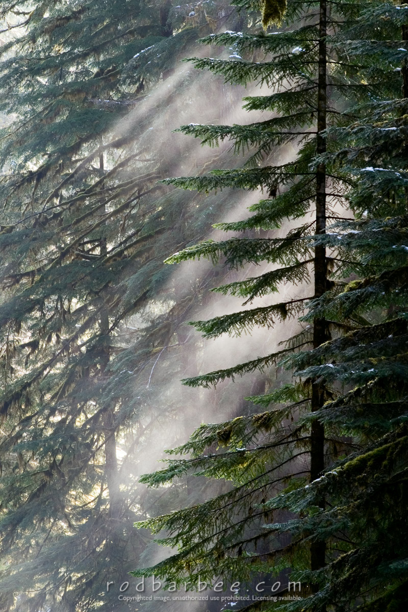Barbee_030402_1_4307 |  Mist in trees near Sol Duc Falls, winter. Sol Duc Trail