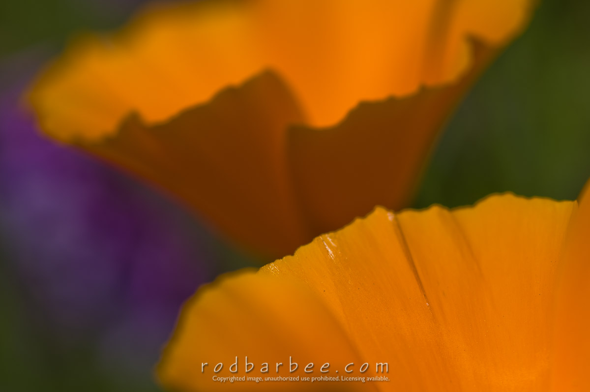 Barbee_080516_3_5455 |  California Poppies close up