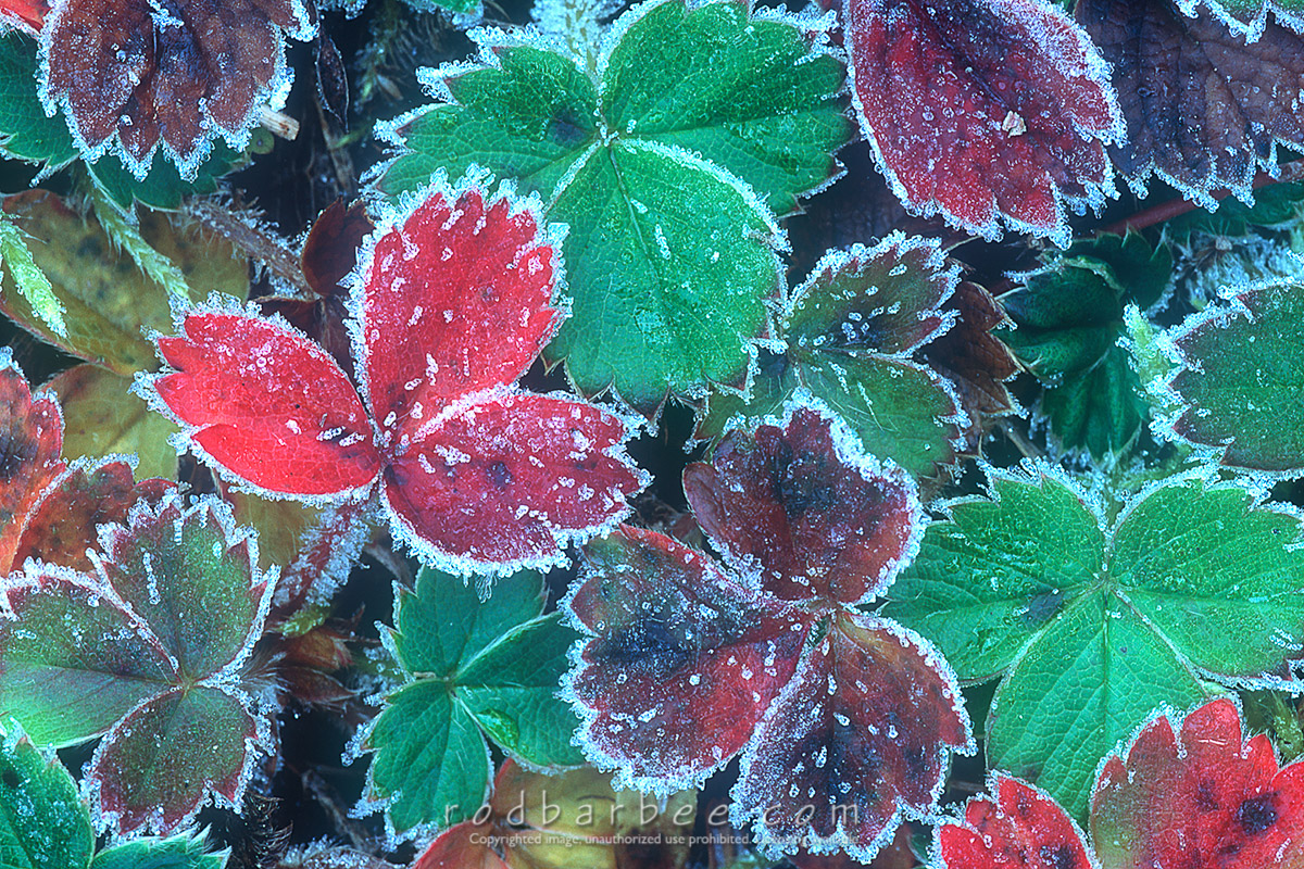 Barbee_10073 |  Frost on wild strawberry leaves, Hurricane Ridge, Olympic National Park, WA