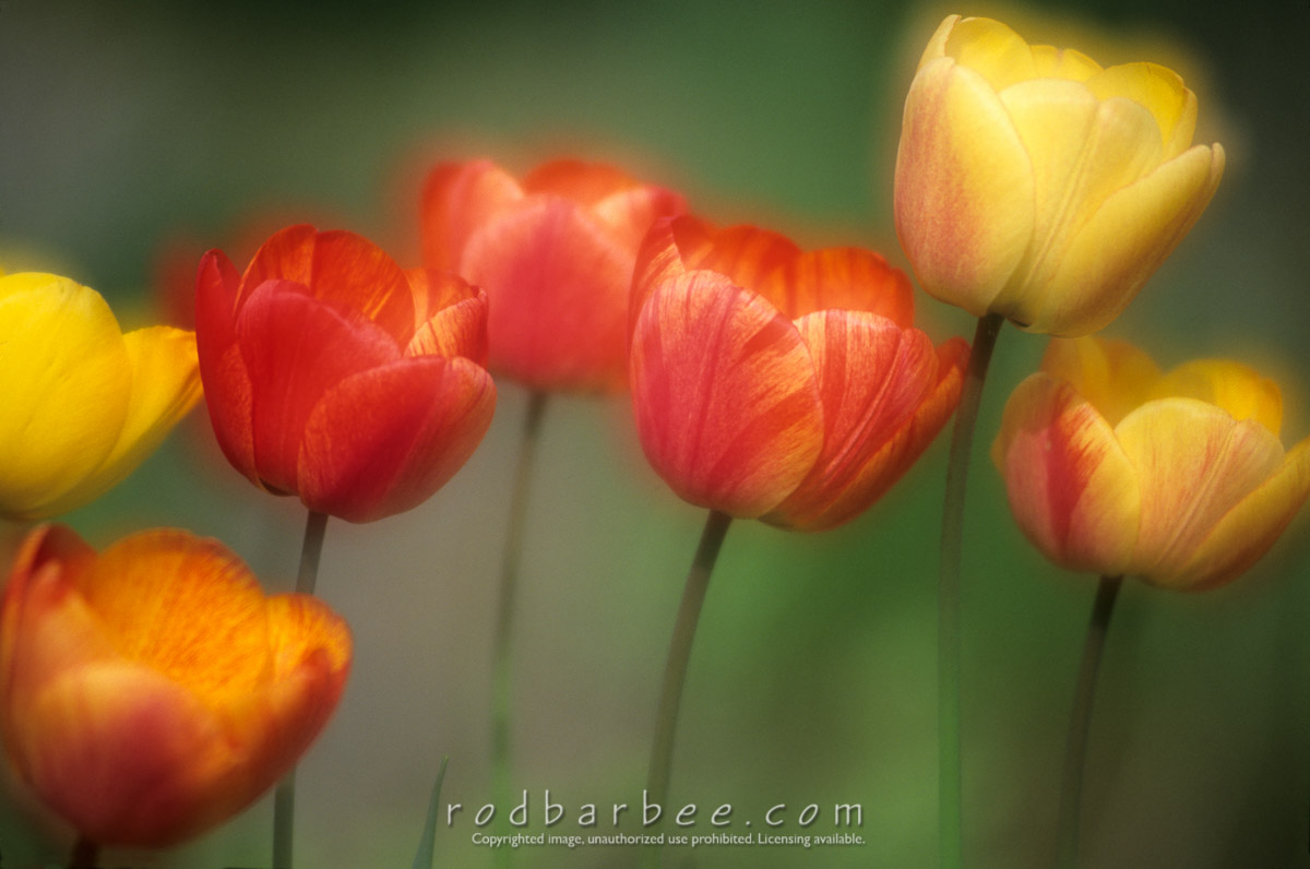 "Barbee_11658 |  ""Tulip Dance"" double exposure"